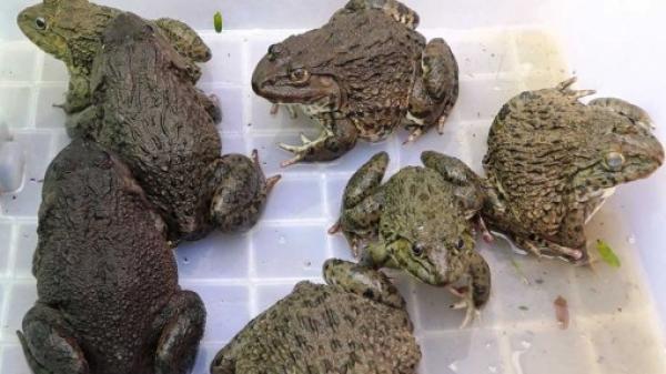 Thử nghiệm mô hình sinh sản ếch giống Thái Lan ở thị xã Kiến Tường tỉnh Long An