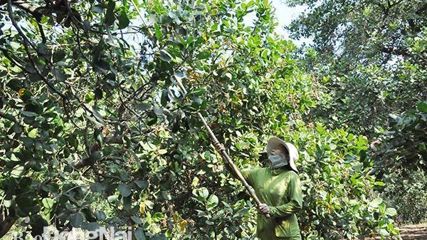 Đồng Nai: Người dân được cấp giấy đi đường để thu hoạch nông sản
