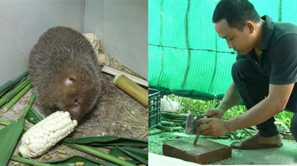 Nuôi loài chuột nứa không cần uống nước, chàng trai Bình Thuận thu 40 triệu/tháng