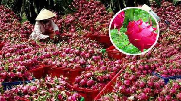 Bình Thuận: Giá thanh long giảm, nhà vườn gặp khó