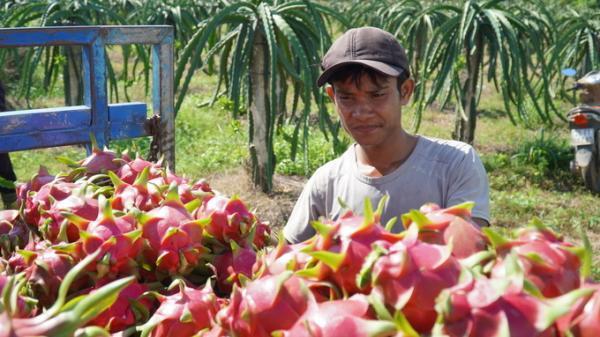 Bình Thuận: Thanh long 3.000 đồng một ký