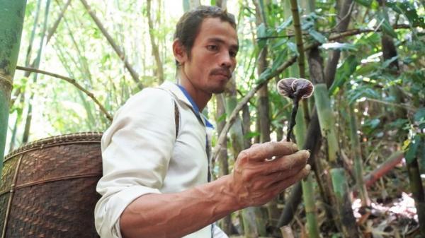 Bình Thuận: Săn nấm linh chi trong rừng sâu