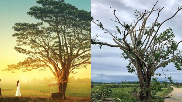 Sau bão số 5, 'cây cô đơn' nổi tiếng trong phim Mắt Biếc xác xơ khiến nhiều người tiếc nuối