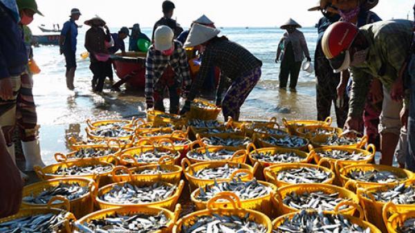 Bình Thuận: Nhộn nhịp mùa cá cơm cuối vụ Nam