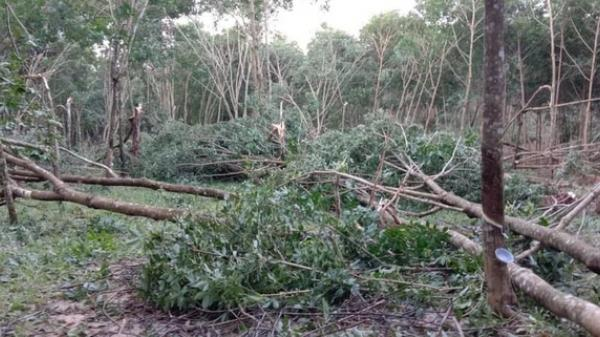 Nông dân Quảng Trị bật khóc khi thấy cao su đổ la liệt sau bão số 9