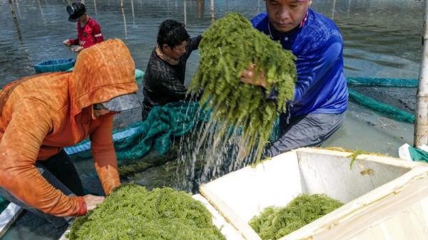 Những gia đình gắn bó với biển và cây rong biển ở Ninh Thuận