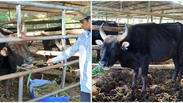 Ninh Thuận : Đàn bò tót ốm trơ xương béo tốt 'bất ngờ' sau 2 tháng được chăm nuôi