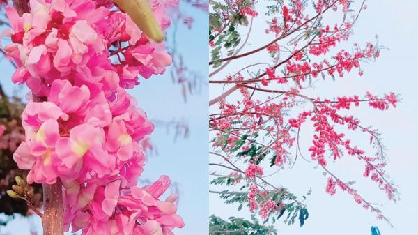 Hoa đỗ mai nở rộ tại xứ biển Phan Thiết