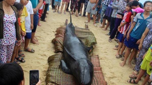Chuyện cá voi cứu người trên biển Vũng Tàu (P3)