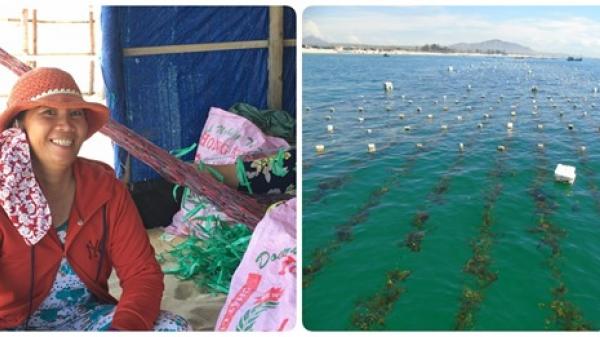 Nhọc nhằn của người nuôi trồng rong biển ở Ninh Thuận