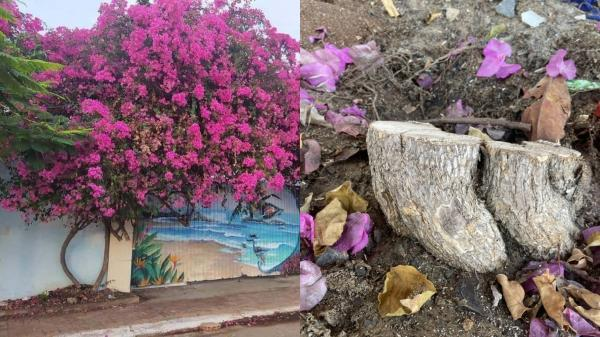 Nhiều cây hoa giấy ở Vũng Tàu lại bị cưa trộm