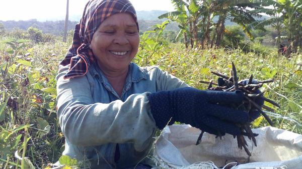 Ninh Thuận: Nông dân xã Mỹ Sơn được mùa đậu xanh