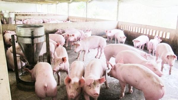 Giá cả thị trường hôm nay (7/12): Giá lợn hơi tại miền Bắc tiếp tục tăng ở một số tỉnh