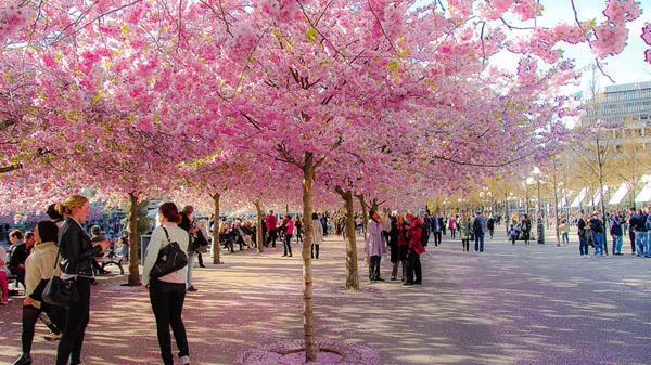Không xa Nam Định có một nơi ngắm thỏa thích 10.000 bông hoa anh đào Nhật Bản miễn phí