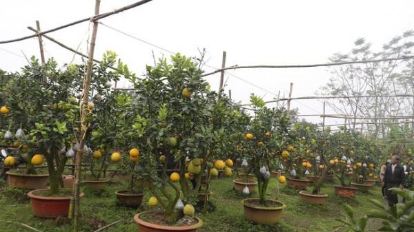 Lão nông thu về hàng trăm triệu nhờ ghép 10 loại quả trên cùng một cây cảnh