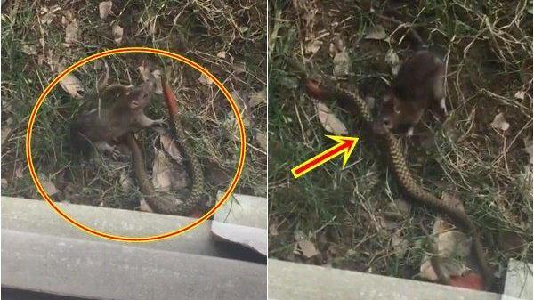 HY HỮU: Chuột bắt rắn với cú đớp chặt đầy uy lực