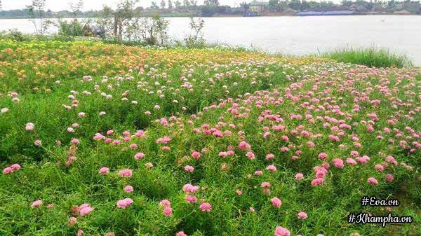 Nam Định: Mê mẩn vườn hoa mười giờ rực rỡ ven sông của chàng trai học kiến trúc mê hoa