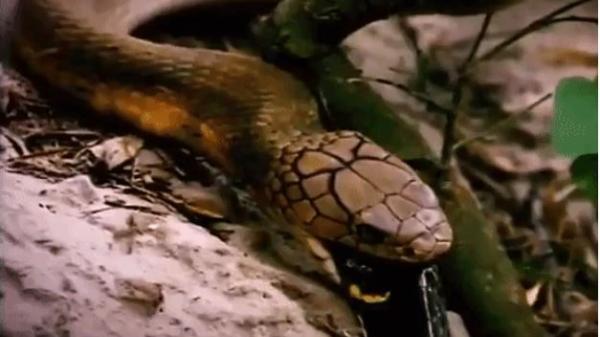 Tử chiến kinh hãi giữa hai loài rắn độc: Cú đớp hụt khiến kẻ săn mồi trở thành nạn nhân