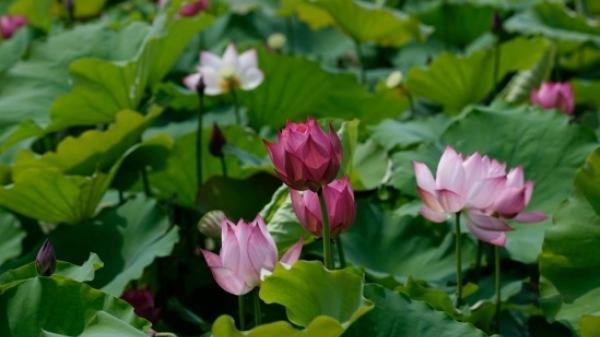 Rất nhiều người Nam Định không hề biết tới đầm sen tuyệt đẹp này