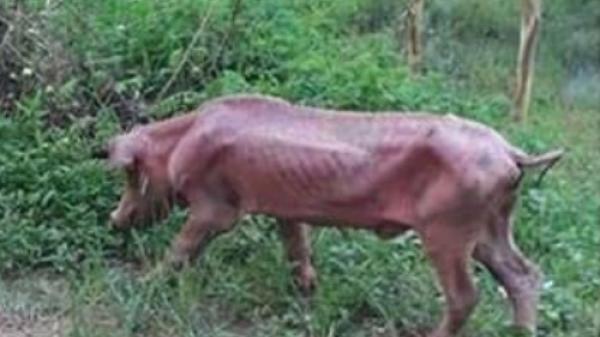 Xót xa hình ảnh chú lợn lang thang, gầy trơ xương vì đói sau cơn bão giá thịt
