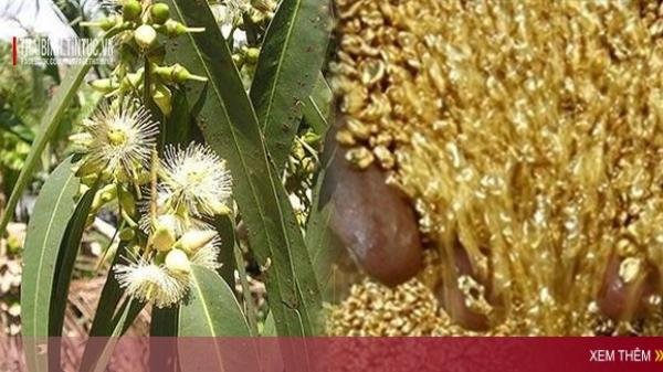 Bất ngờ phát hiện cây MỌC ra VÀNG đầy đường tại Việt Nam, kiếm bạc tỷ/ngày là chuyện đơn giản như muỗi!