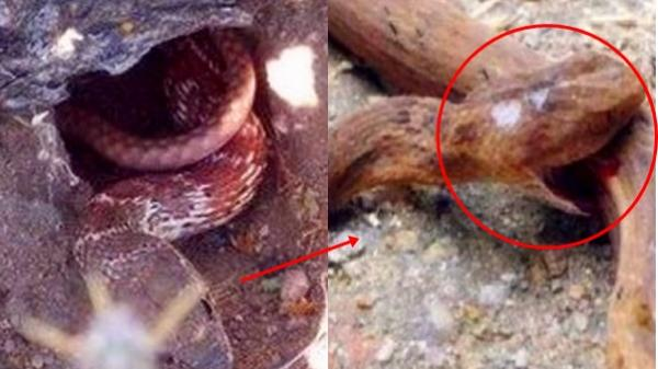 Rùng rợn cảnh rắn chúa cắn bụng tự sát trong vườn, phát hoảng khi thấy thứ ghê rợn lòi ra bên trong