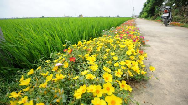 Nam Định: Con đường hoa mười giờ rực rỡ dài 3 km