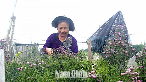 Nam Định: Đẹp ngây ngất mùa hoa thạch thảo
