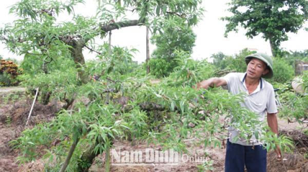 Nam Định: Nông dân Nam Mỹ làm giàu từ nghề trồng đào