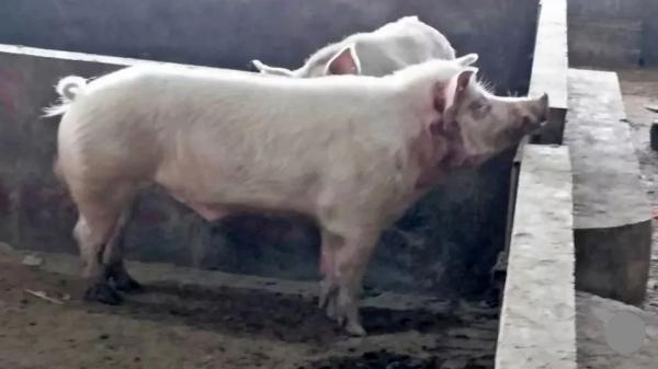 Kinh hoàng: Lợn 'sát thủ' xổng chuồng, tấn công người tử vong