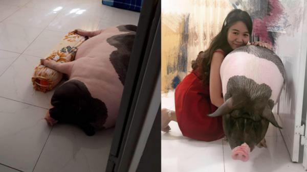 Cô gái mua heo mini về nuôi làm thú cưng, ai ngờ 1 năm sau nó biến thành heo khổng lồ nặng hơn 1 tạ