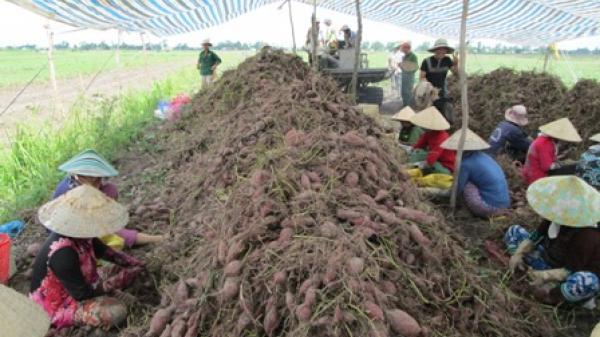 Sự thật chuyện bơm th.uốc tăng trưởng kích thích khoai lang ở Tây Nguyên