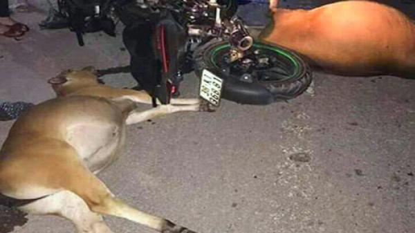 Hai con bò bị tông chết, chủ nhân không dám nhận vì sợ phạt