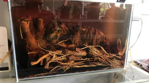 'Sốc' với hổ nguyên con, mãng xà chúa 'khủng' ngâm trong bể rượu nhà đại gia Việt