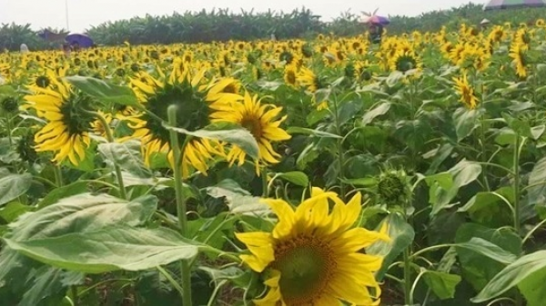 Không xa phía Nam của tỉnh Ninh Bình có một địa điểm check in hoa hướng dương đẹp đến mê hồn