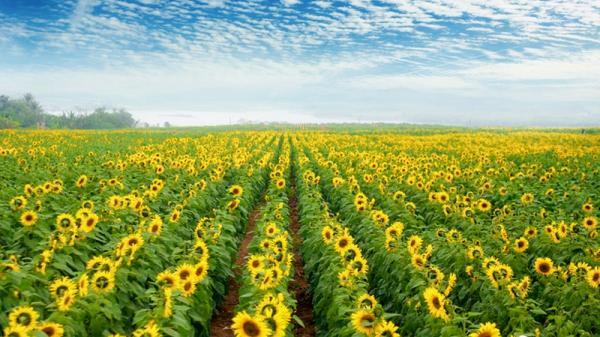 Choáng ngợp với cánh đồng hoa hướng dương lớn nhất Việt Nam ở Nghệ An