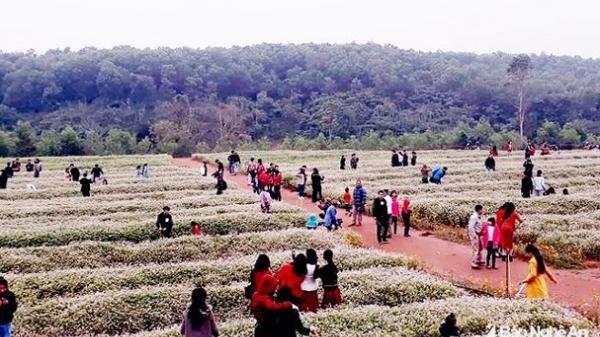 Nhiều dịch vụ mới nở rộ hút khách ở đồi hoa tam giác mạch xứ Nghệ
