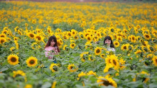 Đến hẹn lại lên, cánh đồng hoa hướng dương Nghệ An đã rực rỡ thế này rồi đây