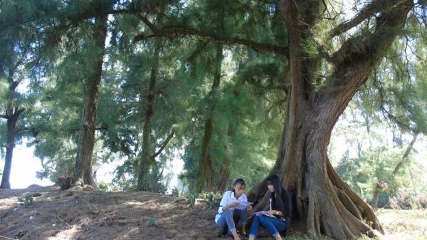 Bí ẩn rừng phi lao trăm tuổi cổ quái nơi làng biển xứ Nghệ