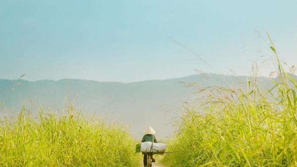 Không xa Hà Tĩnh có một cánh đồng cỏ lau xanh mướt đẹp quên lối về