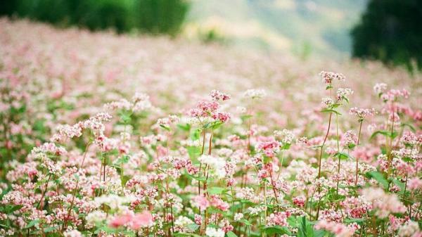 Về Tam Đường (Lai Châu) ngắm hoa tam giác mạch rực rỡ ở Hồ Thầu