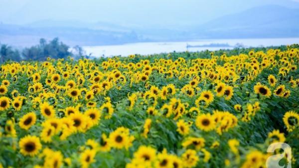 Mãn nhãn ngắm cánh đồng triệu bông hướng dương ở Nghệ An