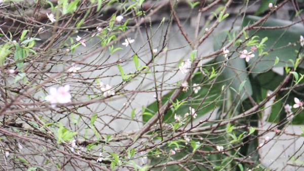 Làng hoa đào ở Cẩm Xuyên, Hà Tĩnh rộn ràng vào Tết