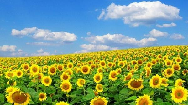 Phát cuồng với cánh đồng hoa rực rỡ, đẹp như cõi mơ ở Hà Tĩnh