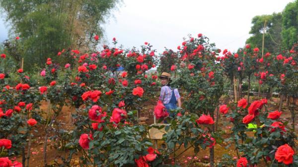 """Bỏ ngân hàng đi trồng hoa, chàng trai Lai châu gây dựng vườn hồng bạc tỷ """"đẹp vạn người mê"""""""