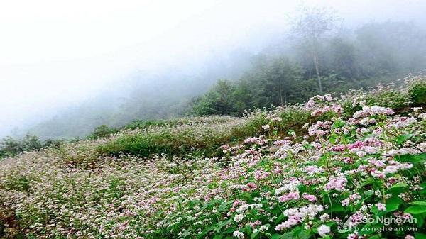 Nghệ An: Trồng thử nghiệm 2 ha hoa tam giác mạch