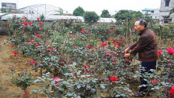 Vùng trồng hoa Ninh Phúc, TP. Ninh Bình rộn ràng đón xuân