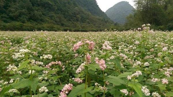 """Ngỡ ngàng vườn tam giác mạch trái mùa """"đẹp quên lối về"""" ở Ninh Bình"""