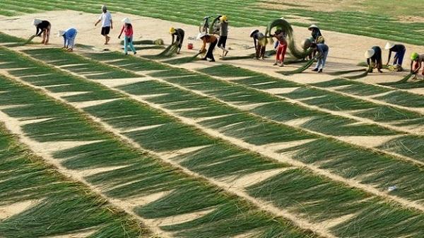 Độc đáo nghề dệt cói Kim Sơn