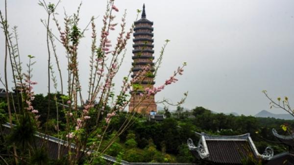 Tháng 4 này: Có một thiên đường hoa hồng mai khiến người ta lạc bước ở Tràng An